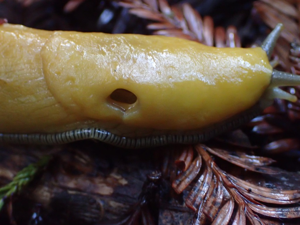 Anterior region of a banana slug (Ariolimax sp.), showing the pneumostome on the right side of the mantle. 7 January 2016 © Allison J. Gong