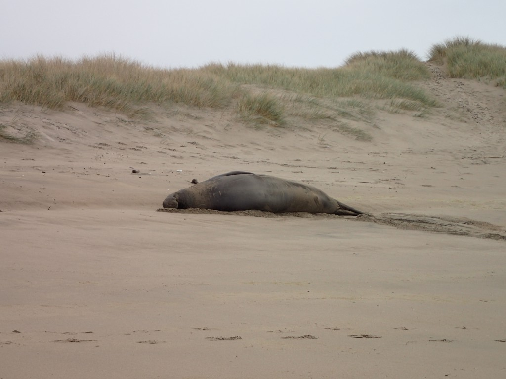 Male elephant seal (Mirounga angustirostris) hauled out on the beach at Franklin Point. 8 January 2016 © Allison J. Gong
