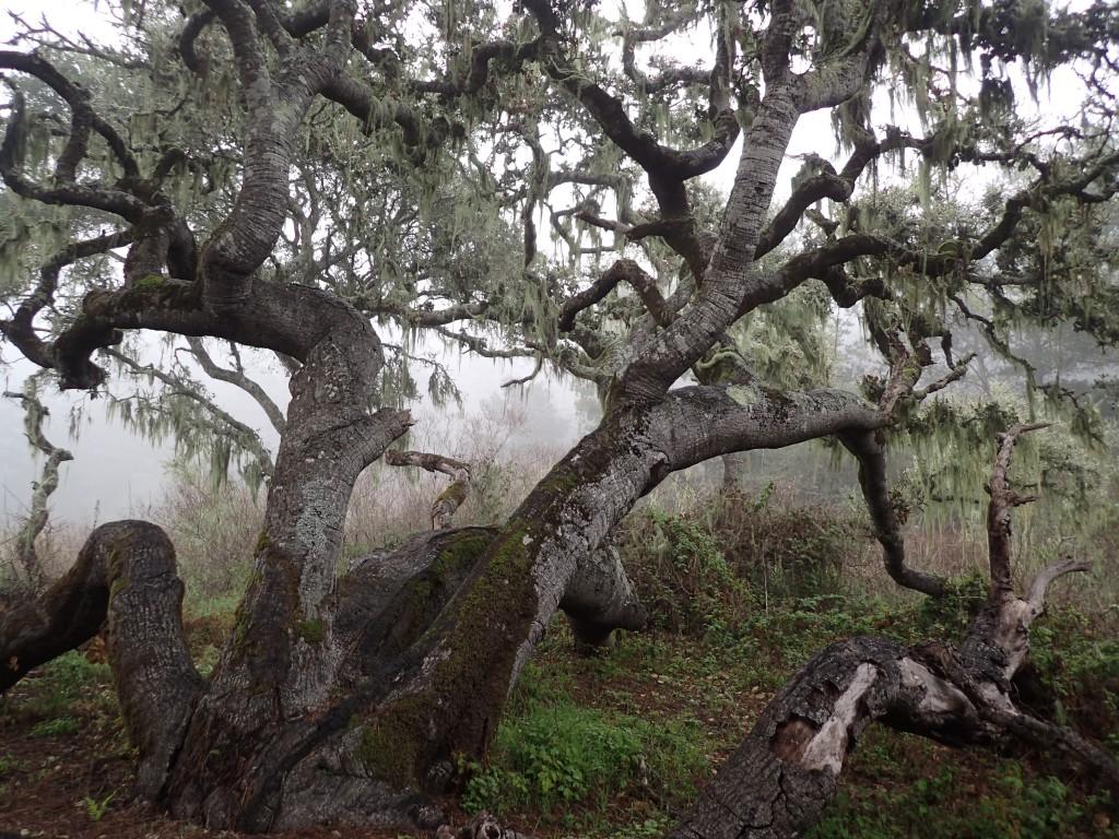 Coastal live oak (Quercus agrifolia) at Rancho del Oso. 29 January 2016 © Allison J. Gong