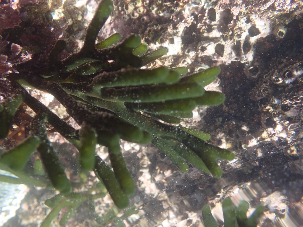 Codium fragile, a filamentous green alga. 6 February 2016 © Allison J. Gong