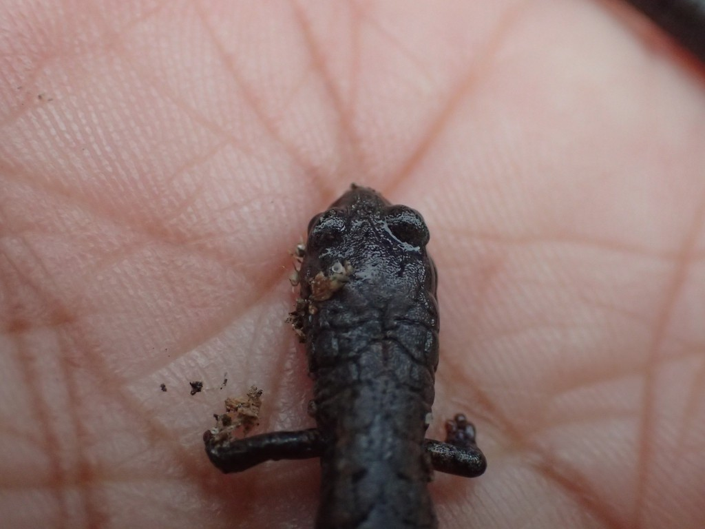 Head and forelegs of California slender salamander (Batrachoseps attenuates). 3 February 2016 © Allison J. Gong