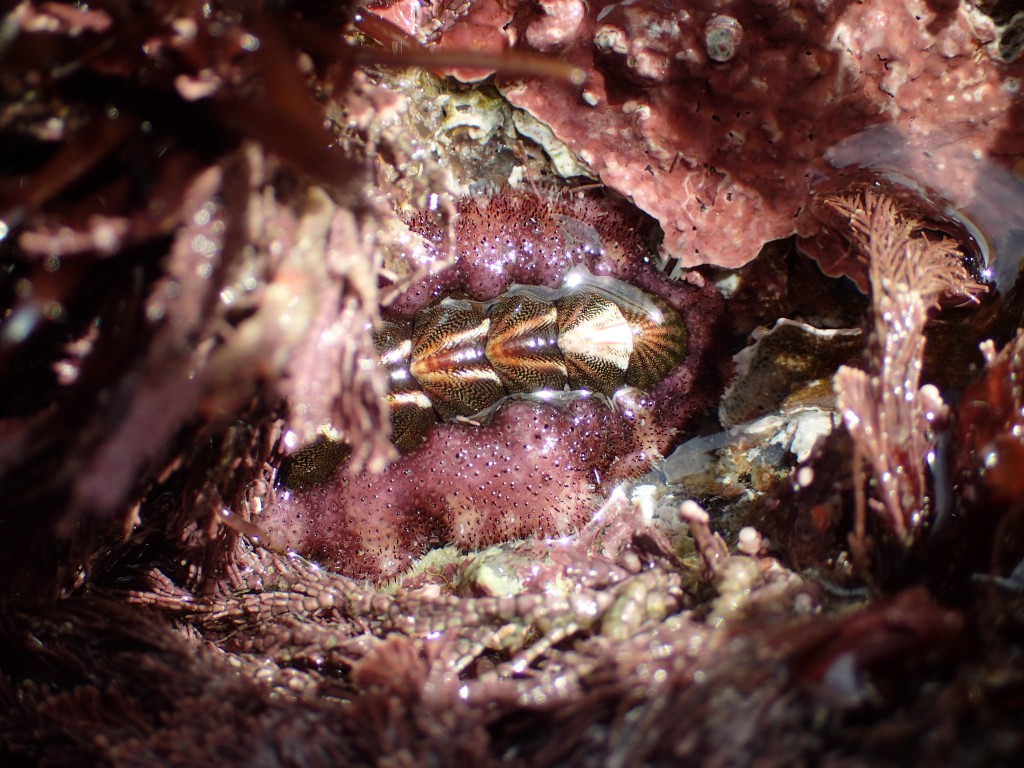 A gorgeous chiton! 6 February 2016 © Allison J. Gong