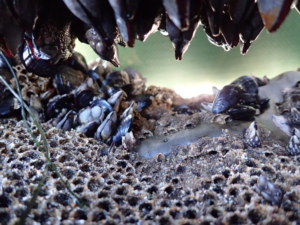 Gooseneck barnacles (Pollicipes polymerus) hanging down in a tube through the rock, surrounded by tubes of the polychaete worm Phragmatopoma californica. 21 February 2016 © Allison J. Gong