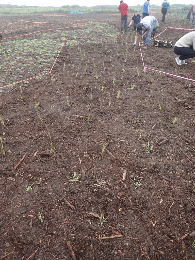 Native grasses my students and I planted at Younger Lagoon Reserve. 4 March 2016 © Allison J. Gong