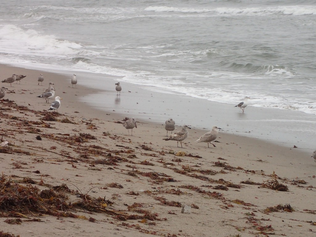 Gulls (Larus spp.) on Moss Landing State Beach. 18 March 2016 © Allison J. Gong