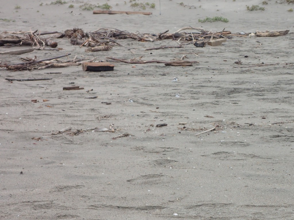 Snowy plovers (Charadrius nivosus) at Moss Landing State Beach. 18 March 2016 © Allison J. Gong