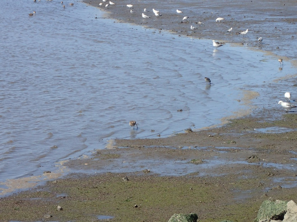 Shorebirds and gulls foraging at Kirby Park. 29 March 2016 © Allison J. Gong
