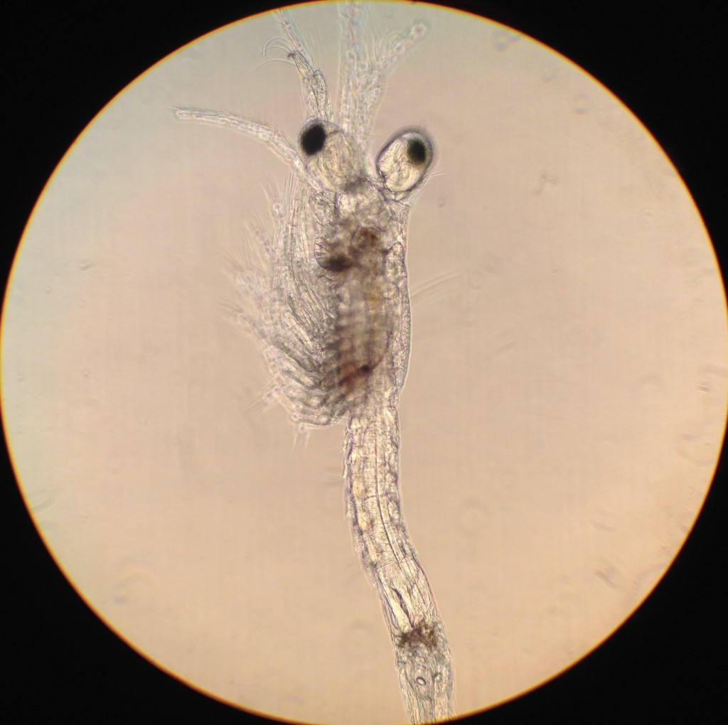 A mysid shrimp collected in a plankton sample. 1 April 2016 © Allison J. Gong