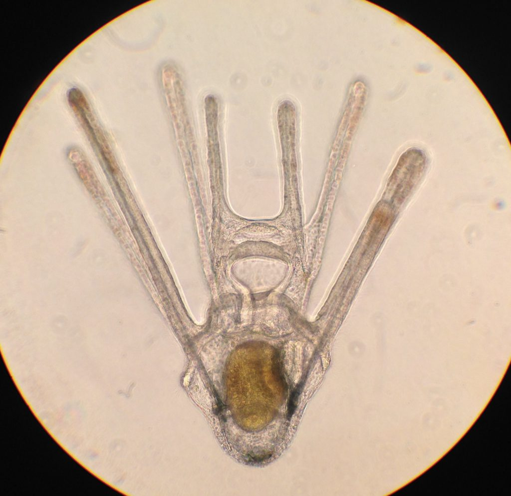 Pluteus larvae of Dendraster excentricus, age 19 days. 11 April 2016 © Allison J. Gong