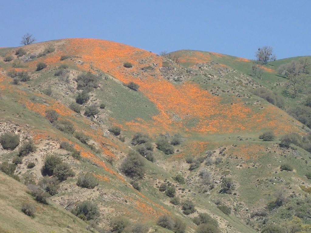 California poppies (Eschscholzia californica) on hillside of Tehachapi Mountains. 2 April 2016