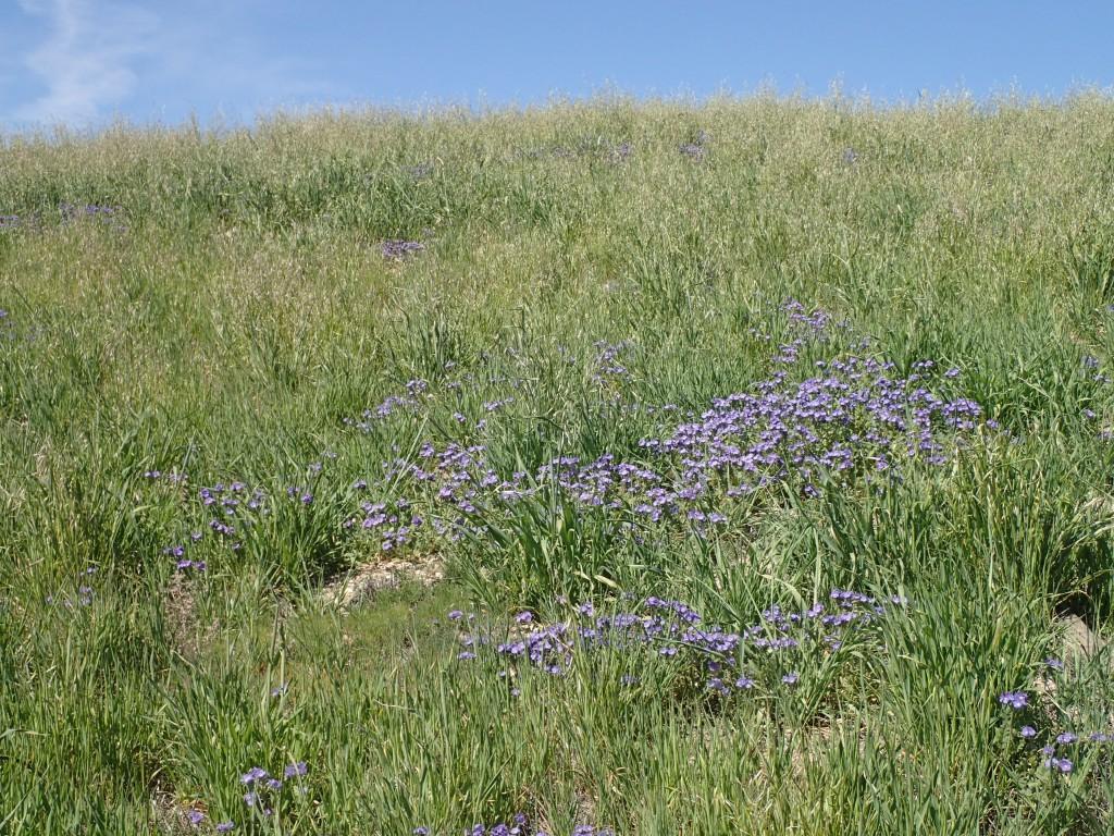 Purple wildflowers along Cerro Noreste Road above the Maricopa Flats,CA. 2 April 2016 © Allison J. Gong