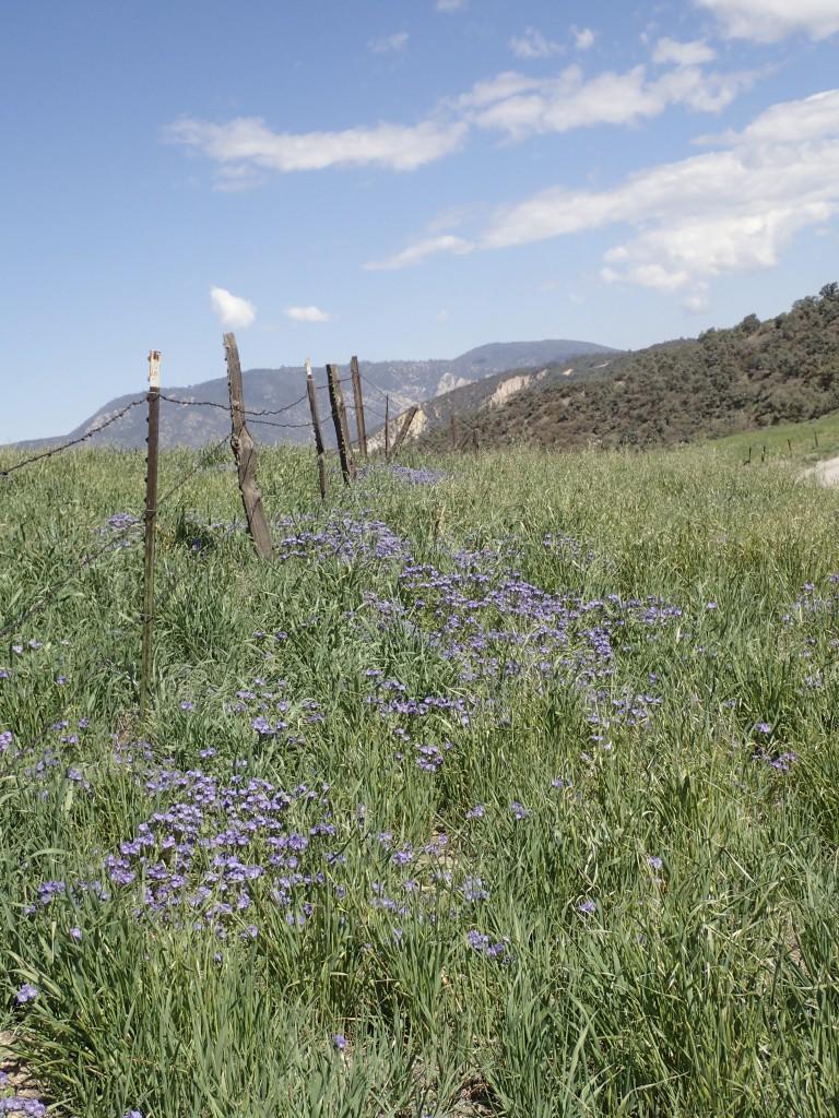 Purple flowers along road in Gorman, CA. 2 April 2016 © Allison J. Gong