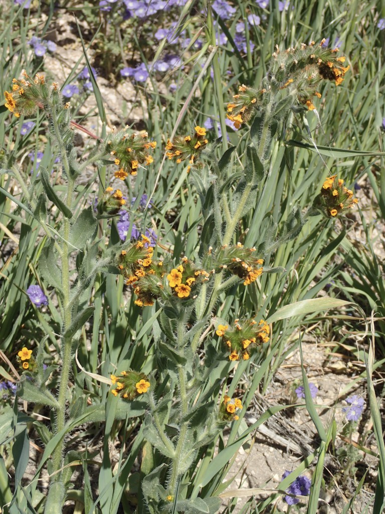 Fiddleneck (Amsinckia menziesii) on roadside hill in Gorman, CA. 2 April 2016 © Allison J. Gong