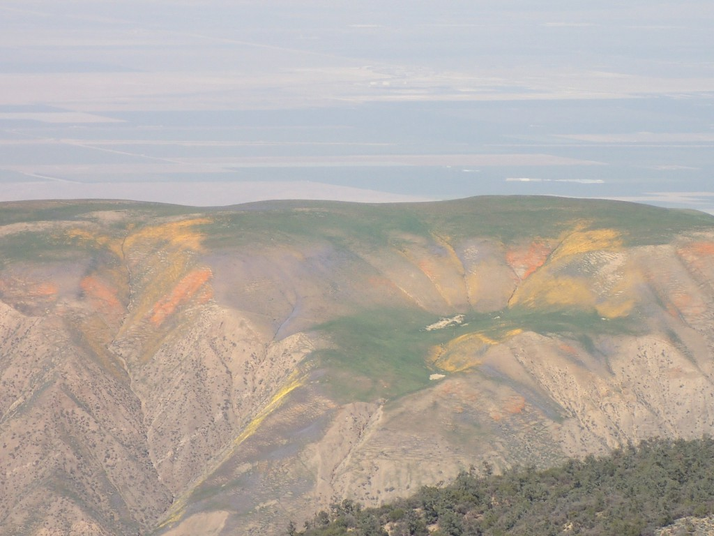 Wildflowers on hills of Carrizo Plain. 2 April 2016 © Allison J. Gong