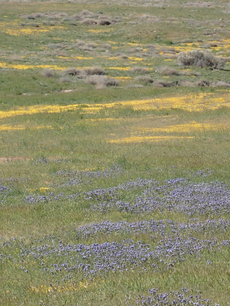 Fields of goldfields (Amsinckia menziesii) on the Carrizo Plain. 2 April 2016 © Allison J. Gong