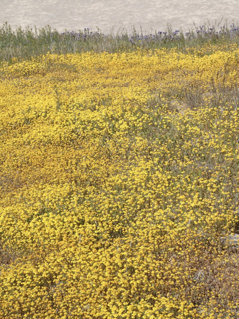 Goldfields (L. californica) on the Carrizo Plain. 2 April 2016 © Allison J. Gong