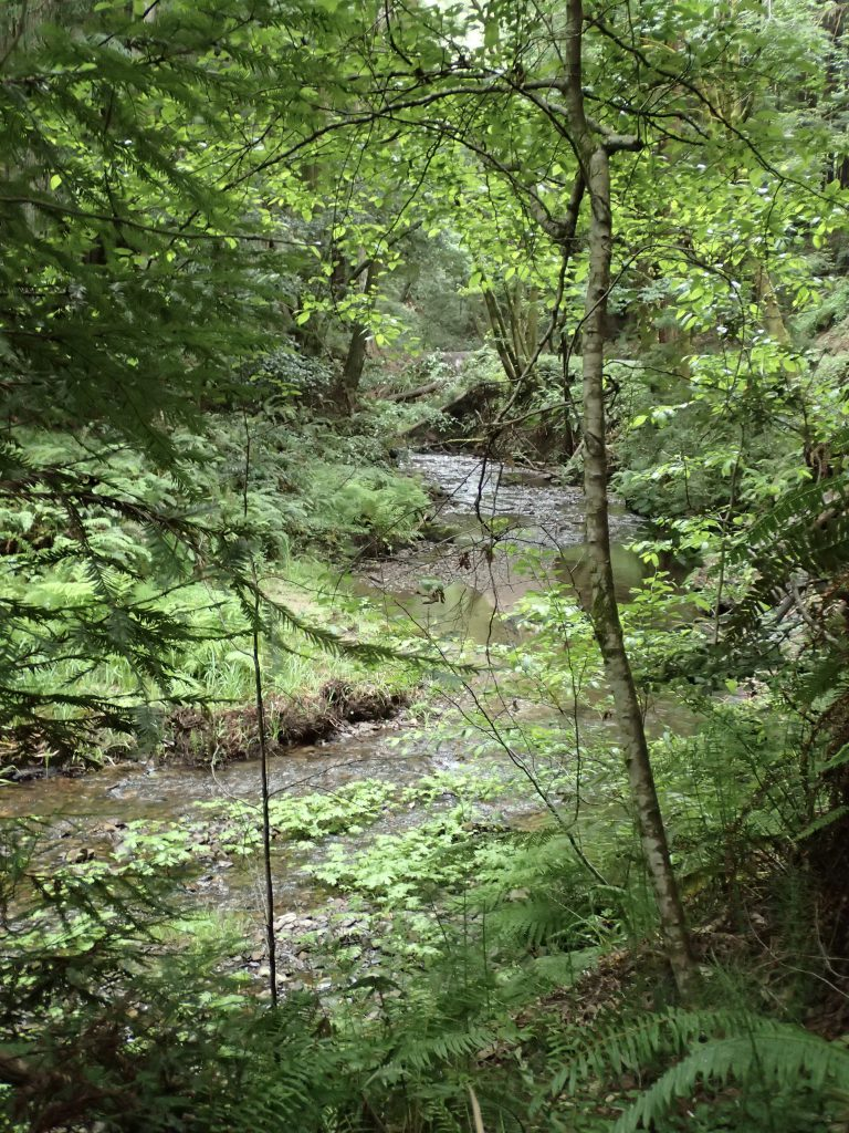 Gazos Creek in the Santa Cruz Mountains. 7 May 2016 © Allison J. Gong
