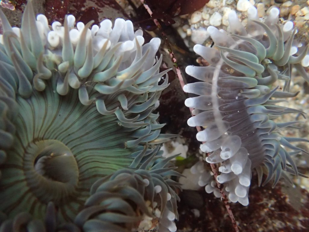 Anthopleura sola anemones fighting in a tidepool at Davenport Landing. 8 May 2016 © Allison J. Gong