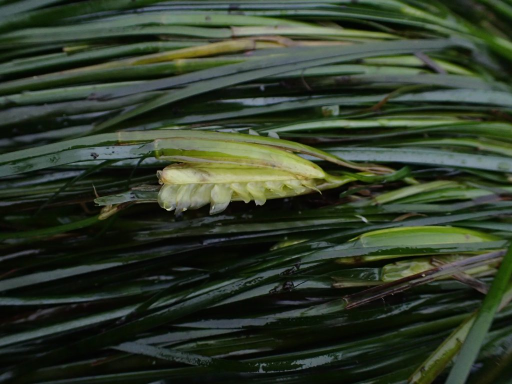 Flower of surfgrass Phyllospadix scouleri at Mitchell's Cove. 8 June 2016 © Allison J. Gong