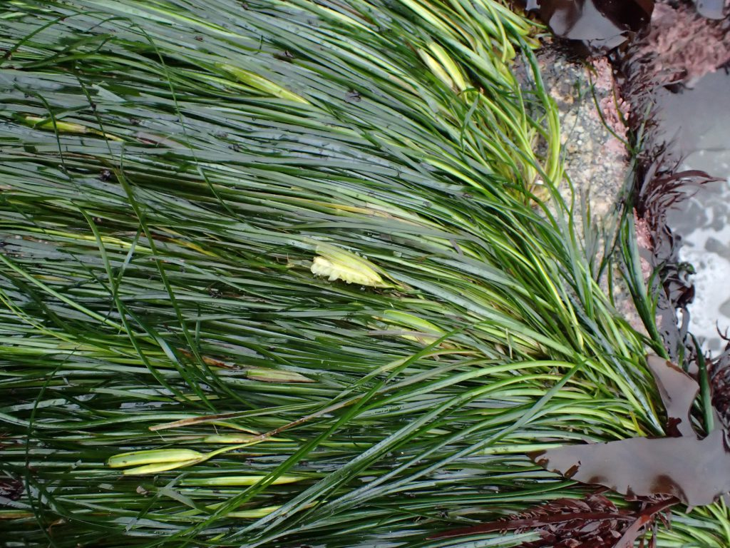 Surfgrass (Phyllospadix scouleri) in bloom at Mitchell's Cove. 8 June 2016 © Allison J. Gong