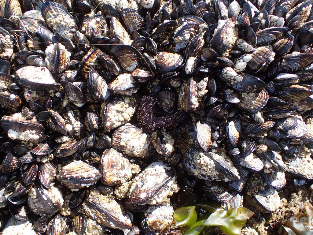 Can you see Pisaster ochraceus hiding in this clump of mussels (Mytilus californianus)? 9 June 2016 © Allison J. Gong