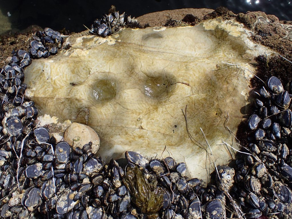 Farm of an owl limpet (Lottia gigantea) at Natural Bridges. 10 June 2016 © Allison J. Gong