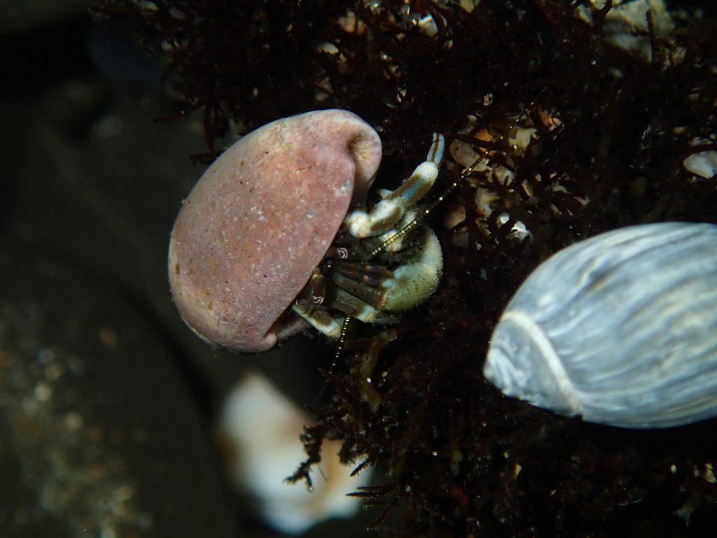 """Hairy"" hermit crab (Pagurus hirsutiusculus) in a tidepool at Natural Bridges. 22 July 2016 © Allison J. Gong"