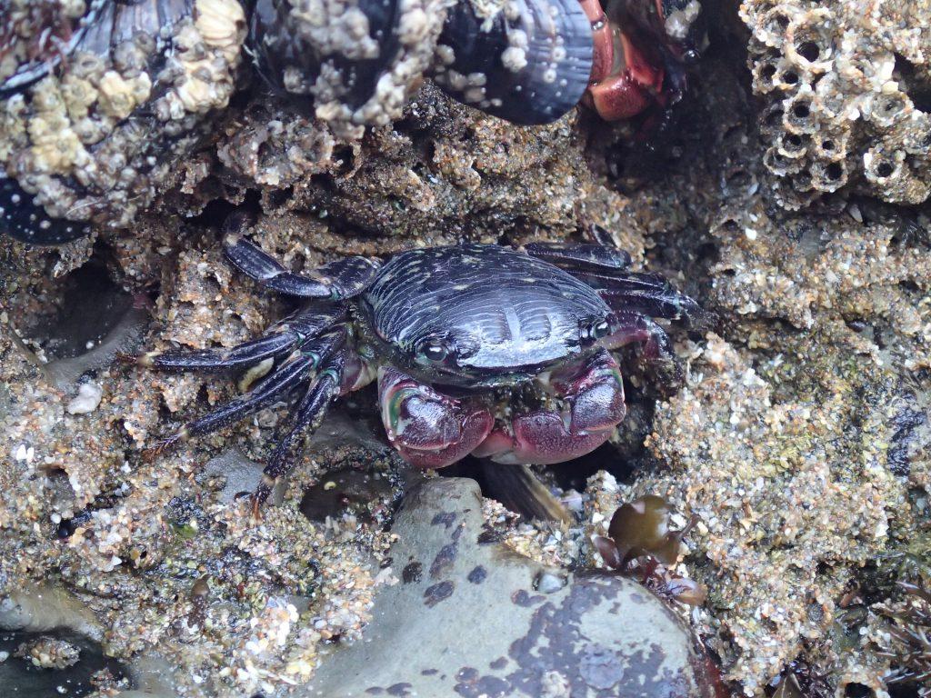 Shore crab (Pachygrapsus crassipes) at Natural Bridges. 22 July 2016 © Allison J. Gong