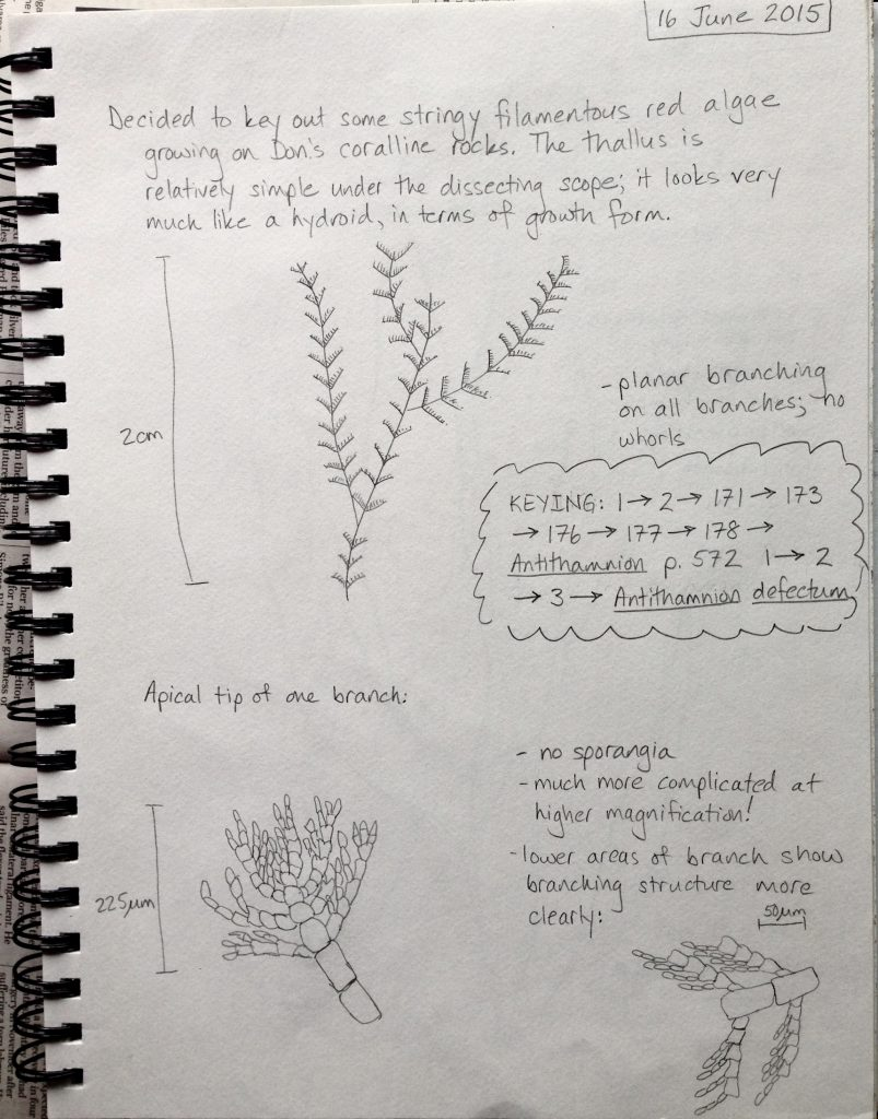 Observations and sketches of the red alga Antithamnion defectum. date © Allison J. Gong