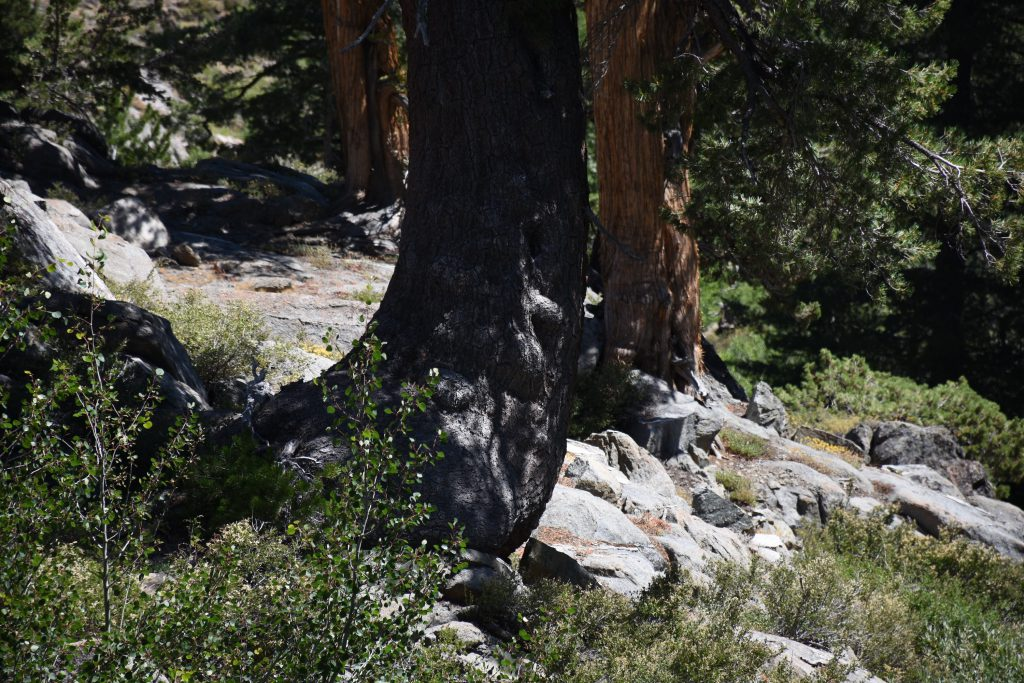 Tree with scars from chains used to pull wagons up the slope, at Red Lake near Carson Pass. 6 August 2016 © Allison J. Gong
