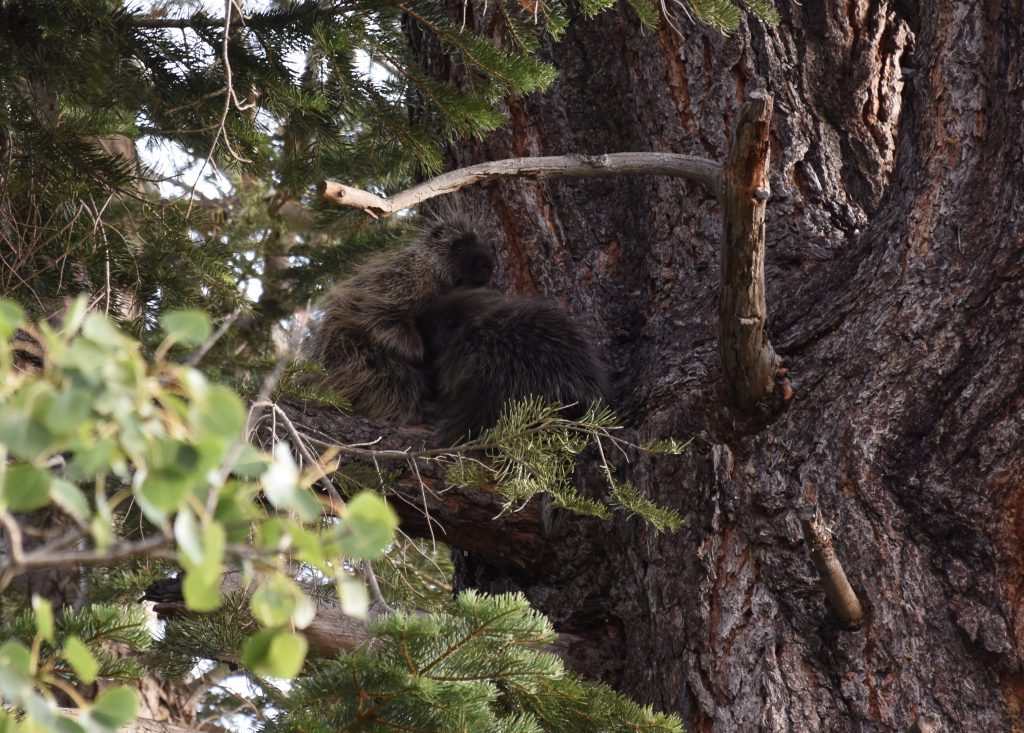 Common porcupine (Erethizon dorsatum) nursing her baby in a tree at Taylor Creek. 7 August 2016 © Allison J. Gong