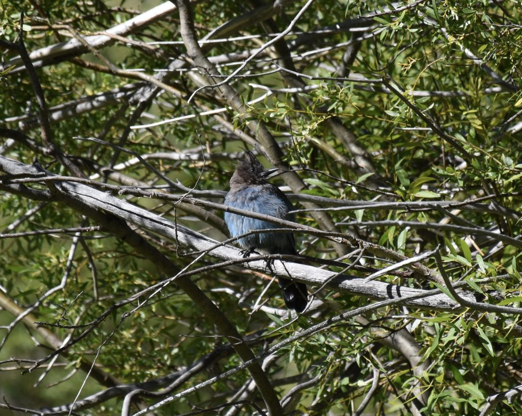 Steller's jay (Cyanocitta stelleri) at Taylor Creek. 8 August 2016 © Allison J. Gong