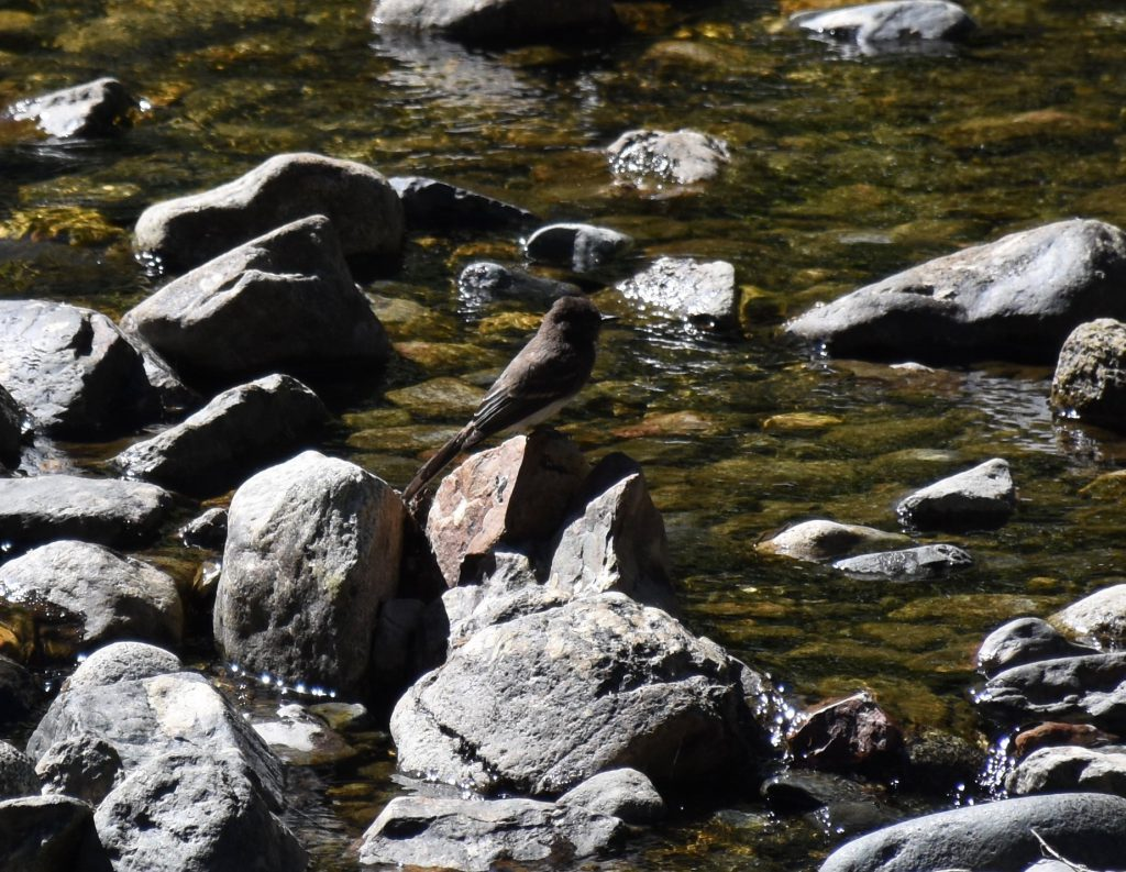 Black phoebe (Sayornis nigricans) at Taylor Creek. 8 August 2016 © Allison J. Gong