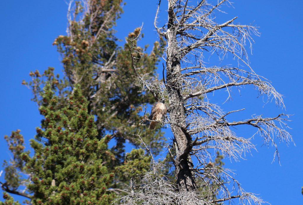 Red-tailed hawk (Buteo jamaicensis) perched in a dead snag in the high Sierra. 8 October 2016 © Allison J. Gong