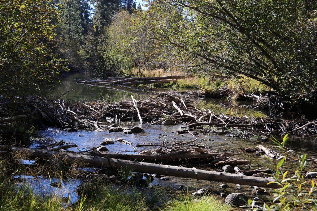 Beaver dam across Taylor Creek. 9 October 2016 © Allison J. Gong