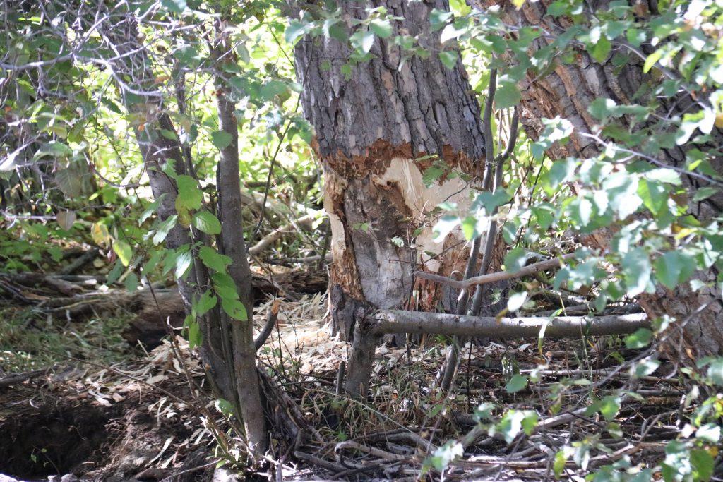 Recent beaver activity at Taylor Creek. 9 October 2016 © Allison J. Gong
