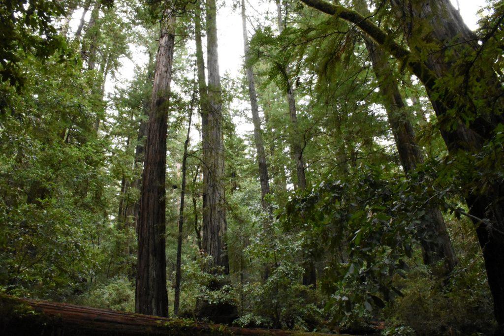 Redwood forest in Big Basin Redwoods State Park. 25 November 2016 © Allison J. Gong