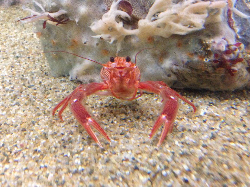 Front view of a living pelagic crab, P. planipes. 22 November 2016 © Allison J. Gong
