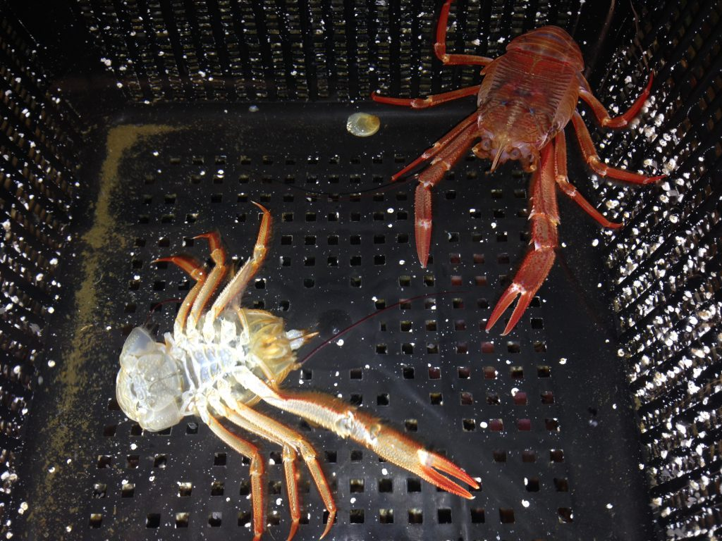 A pelagic crab (P. planipes) with its molt. Note that the molt has only one cheliped, while the crab itself has two. 22 November 2016 © Allison J. Gong