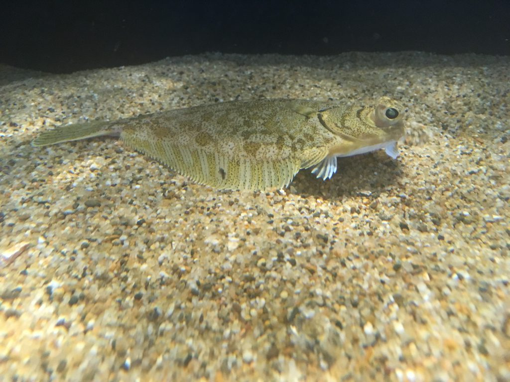 Photo of curlfin sole (Pleuronichthyes decurrens)