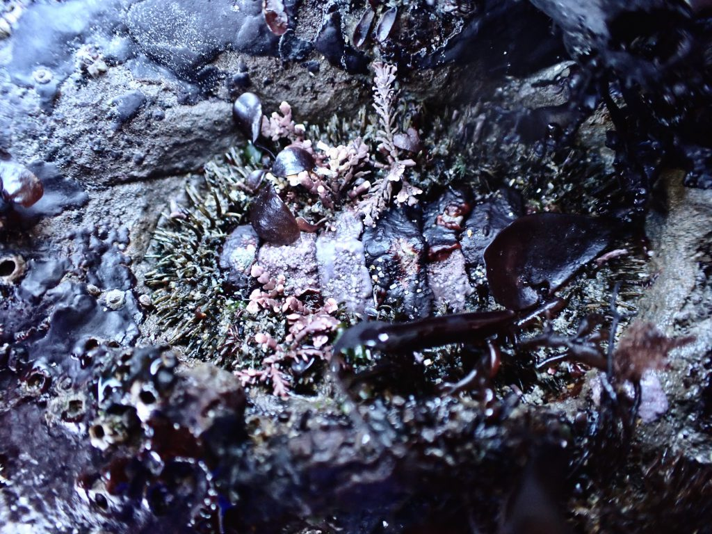 A chiton (Mopalia muscosa), heavily encrusted with a variety of red algae, at Whaler's Cove.