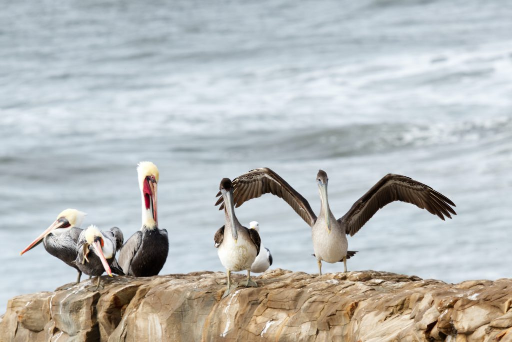 Four brown pelicans (Pelecanus occidentalis) on a rock. A subadult pelican is coming in for a landing.