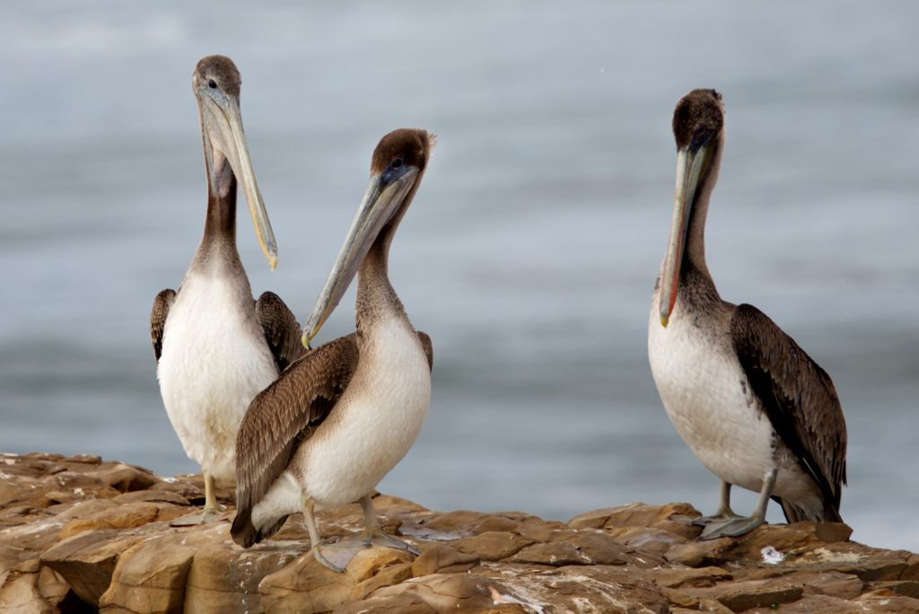 Three subadult brown pelicans (Pelecanus occidentalis) perched on a rock