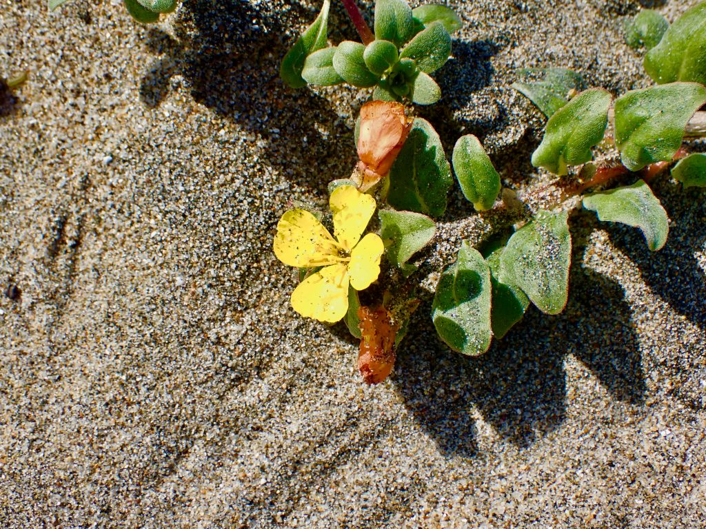 Photograph of the beach suncup (Camissoniopsis cheiranthifolia) at Waddell Beach.