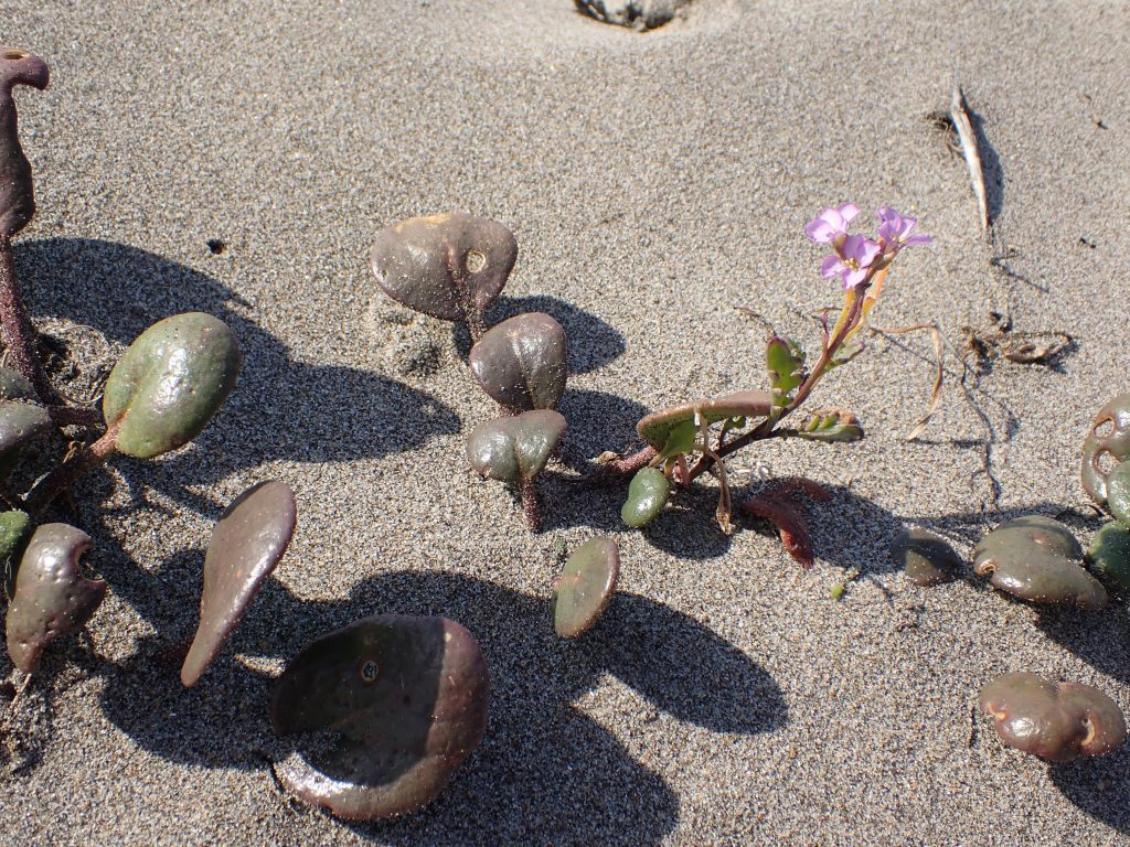 Photograph of the succulent plant, European sea rocket (Cakile maritima) at Waddell Beach.