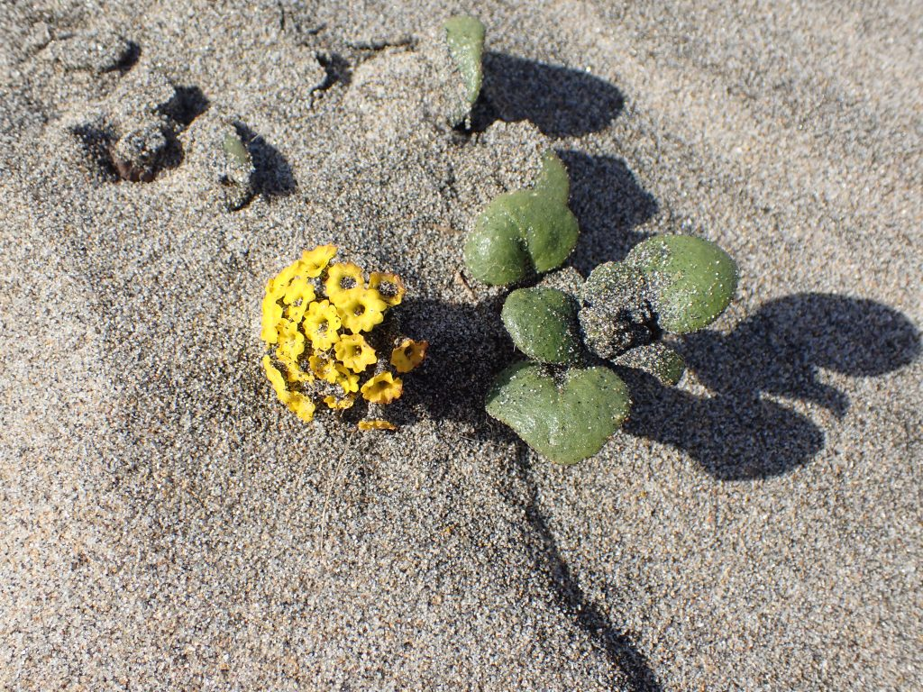 Photograph of yellow sand verbena (Abronia latifolia) at Waddell Beach.