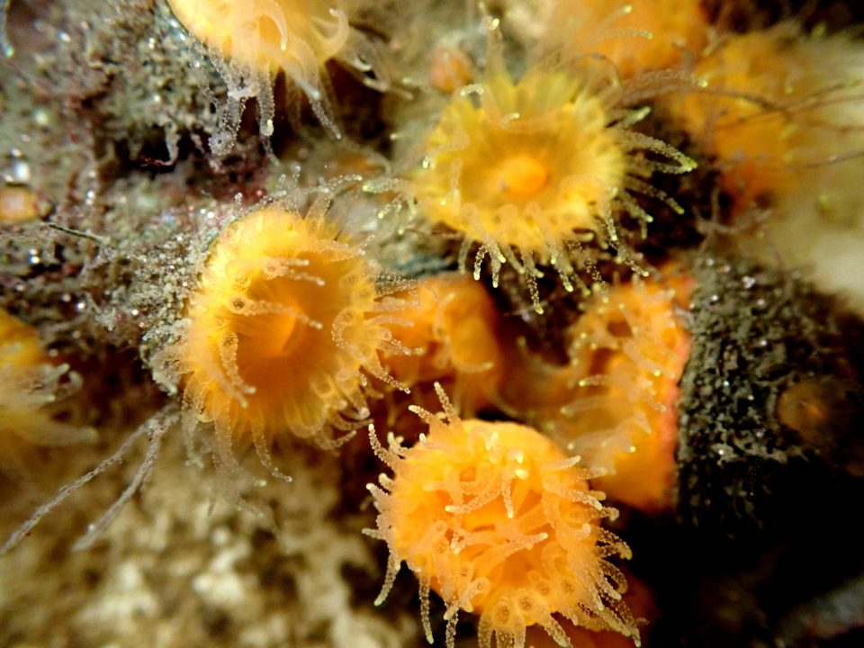 Group of orange cup corals, Balanophyllia elegans