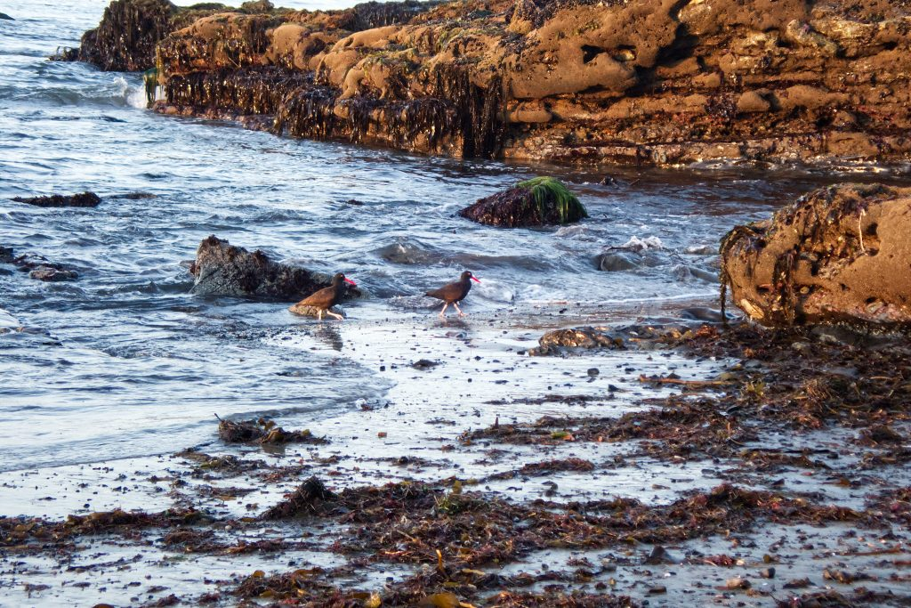 Pair of black oystercatchers (Haematopous bachmani) at Mitchell's Cove