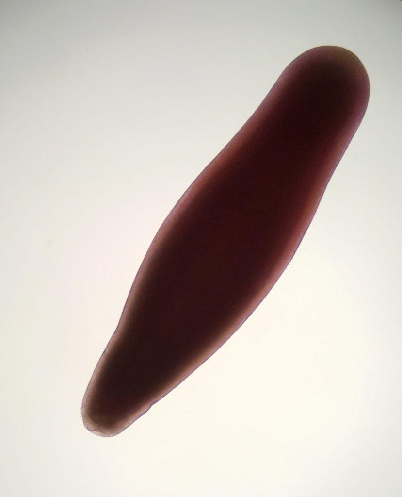 Planula larva of Balanophyllia elegans