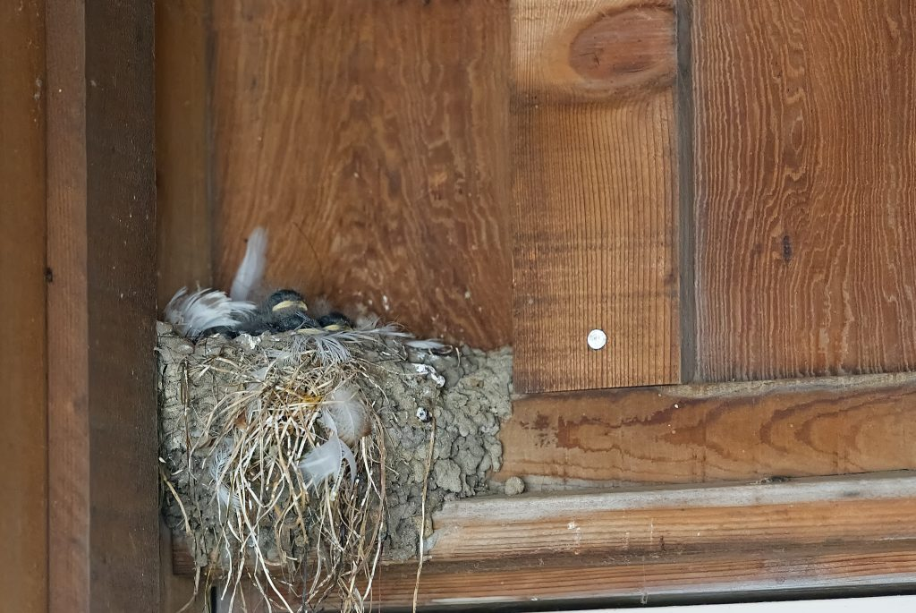 Trio of baby barn swallows in nest
